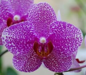 Phalaenopsis_flower-300x262